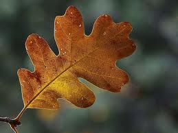 picture of an oak leaf